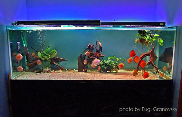 Общий вид декоративного аквариума с дискусами и скатами