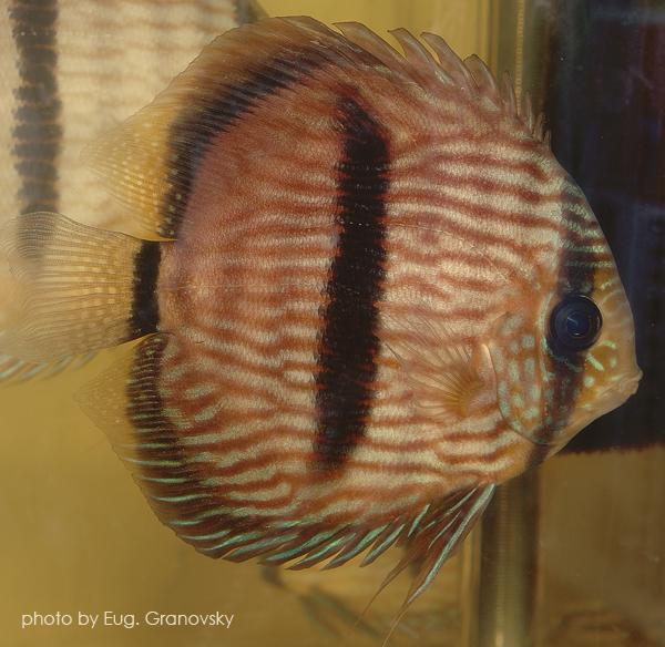 Дискус Хеккеля (Symphysodon discus)