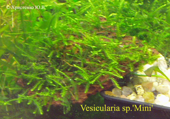 Vesicularia sp.Mini