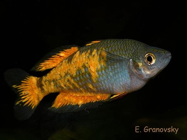 Меланотения Паркинсона (Melanotaenia parkinsoni), самец
