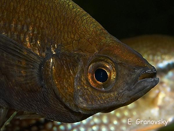 Глоссолепис (Glossolepis incisus), фрагмент, самка