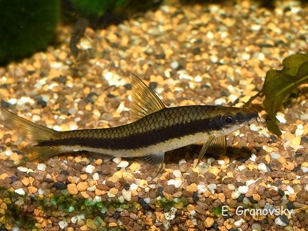 Сиамский водорослеед (Epalceorhynchus siamensis)