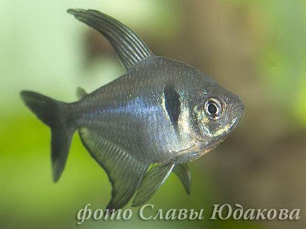 megalomphodus-megalopterus