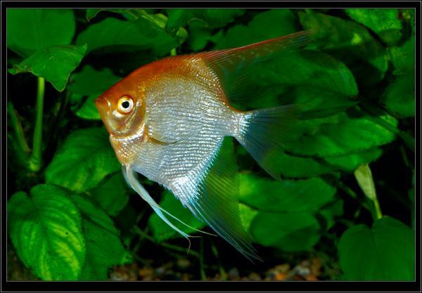 Diamond Angelfish