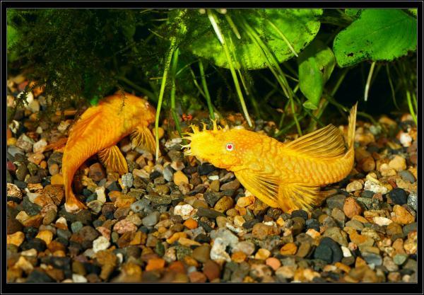 Ancistrus dolichopterus Gold.