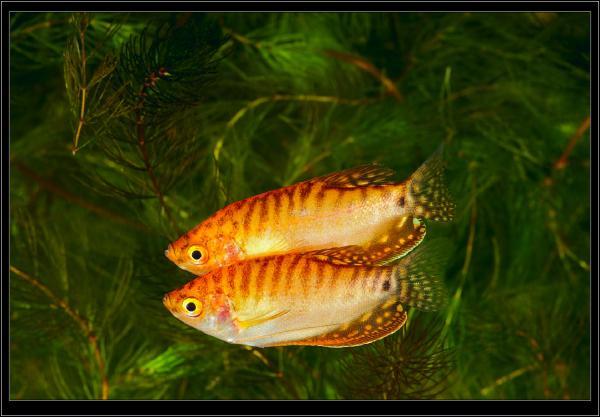 Желтый Гурами. Trichogaster trichopterus. Самки.