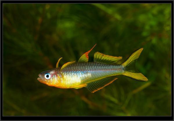 Pseudomugil furkata. Голубоглазка вильчатохвостая. Самец.