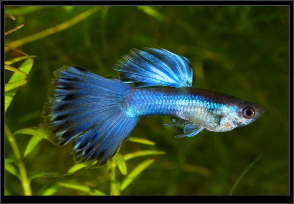 "Poecilia (Lebistes) reticulata. Гуппи ""Синий принц"". Самец."