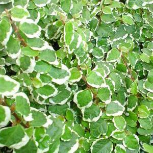 ficus-pumila-variegata.jpg