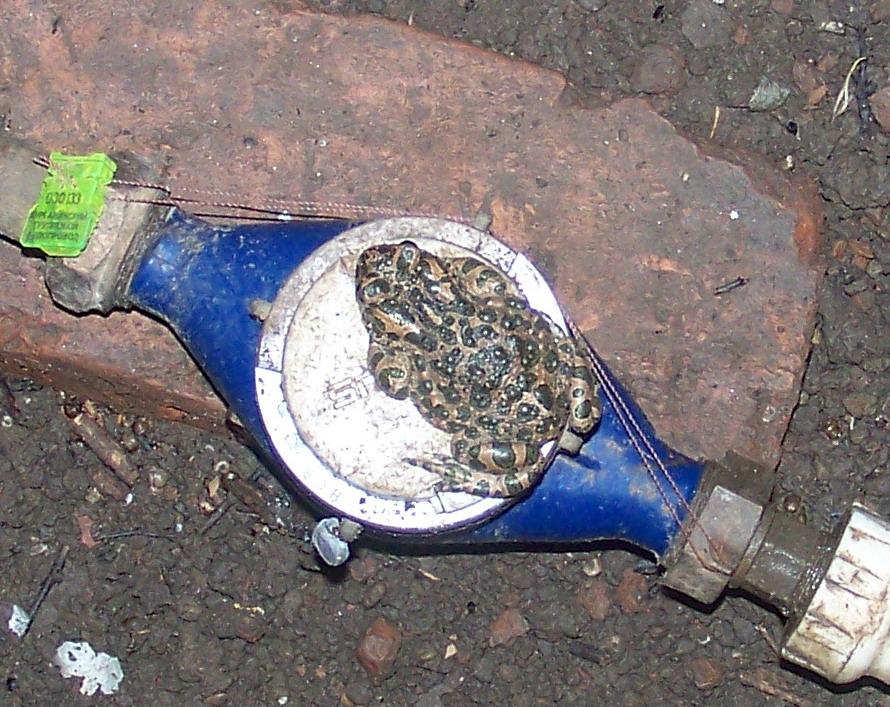 жаба на водомере