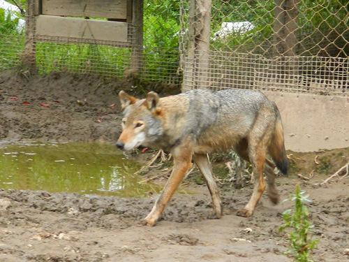 Волчица Герда