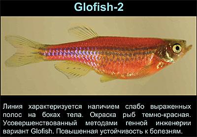 Как выглядит беременная рыбка данио