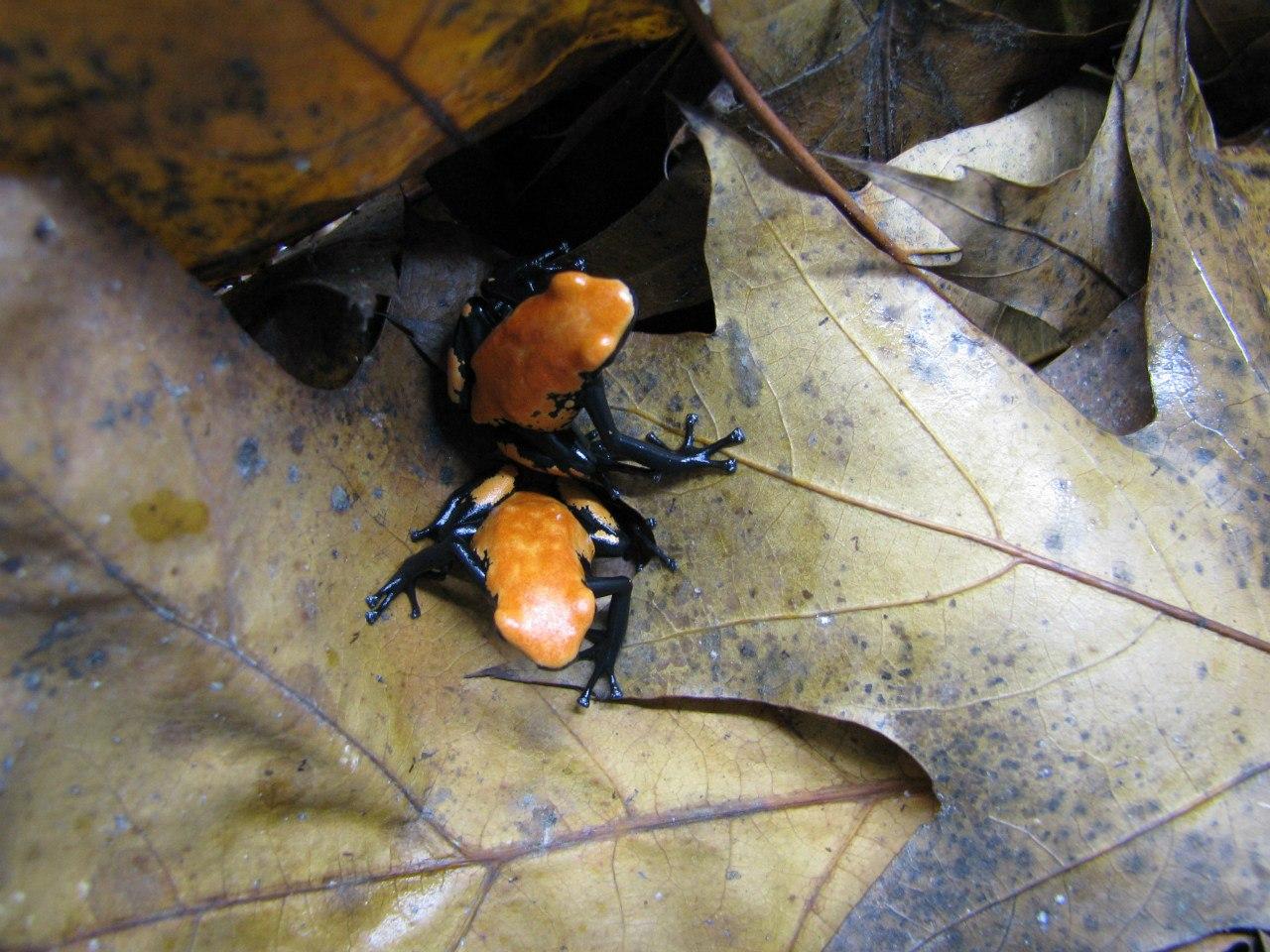 Adelphobates galactonotus 'Orange', подросткиg