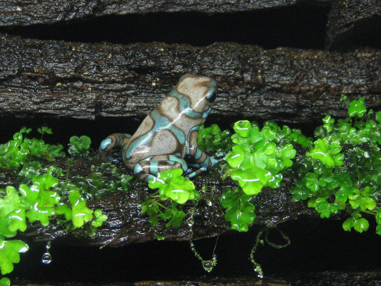 Взрослый самец Dendrobates auratus 'Бронза' (Birkhahn Line)