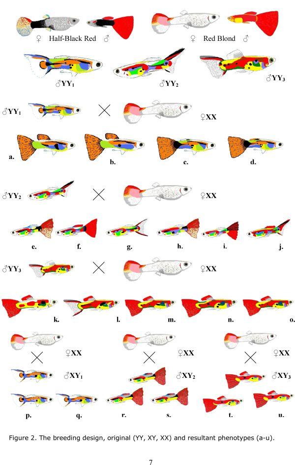 figure2._the_breeding_designoriginalyyxyxxand_resultant_phenotypesa-u_-_0007.jpg