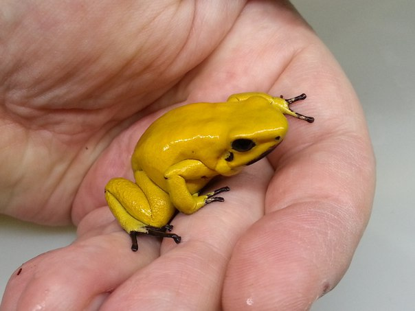 Phyllobates terribilis 'Yellow'