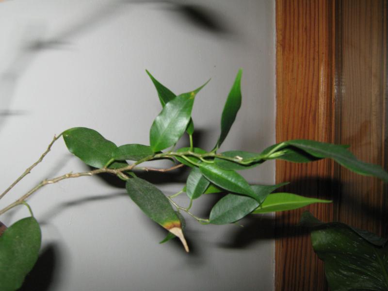 Ficus benjamina Natasja