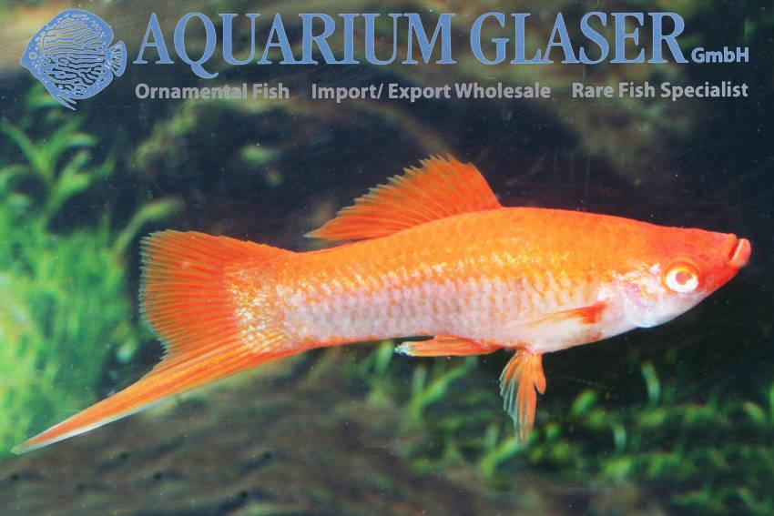 xiphophorus-hellerii-platin-orange0a686d3f77db521a105ceb2db7f2b869.jpg