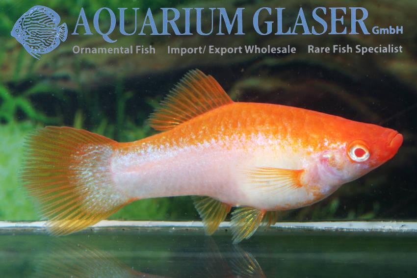 xiphophorus-hellerii-platin-orange4f7f5be694dab79880e8ec558aa81c43.jpg