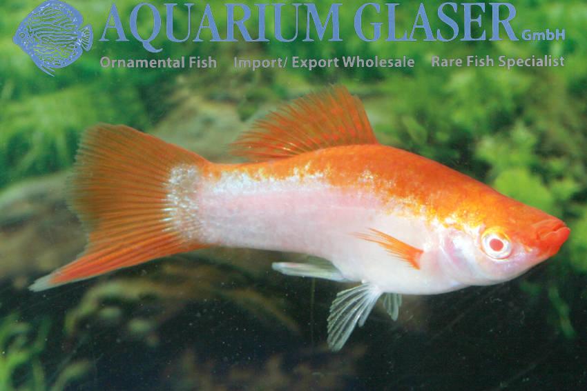 xiphophorus-hellerii-platin-orangecdab34990085a2ceaf2b5d9199110f62.jpg