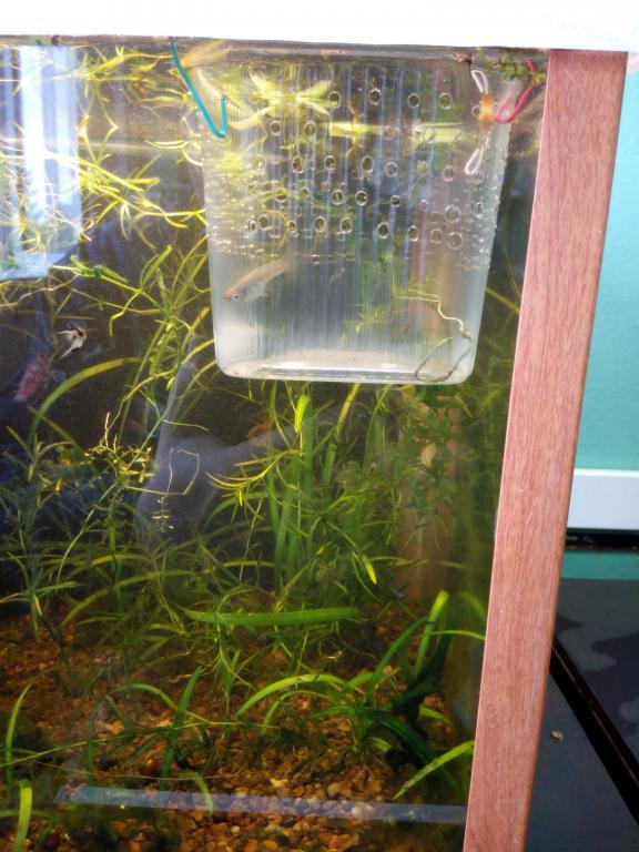 Как сделать отсадник для мальков в аквариуме 341