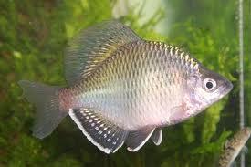 Амурский аквариум Gorchak-1-1