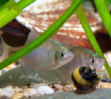 Амурский аквариум Gorchak-1-2