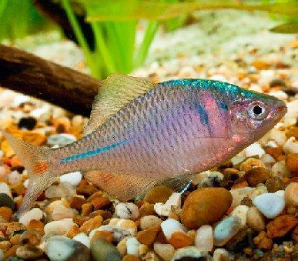 Амурский аквариум Gorchak-2-1