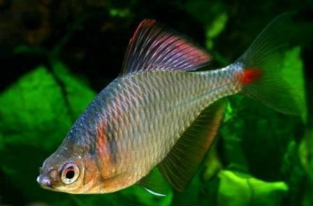 Амурский аквариум Gorchak-2-3