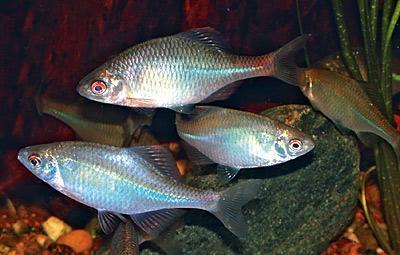 Амурский аквариум Gorchak-2-4