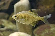 Амурский аквариум Gorchak-3-1