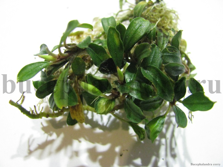 bucephalandra_cerry.jpg