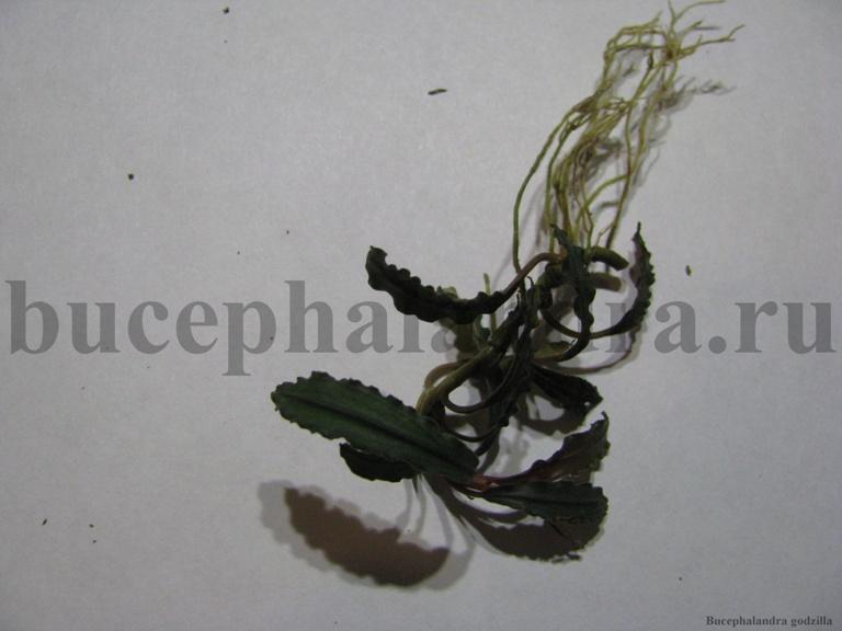 bucephalandra_godzilla.jpg