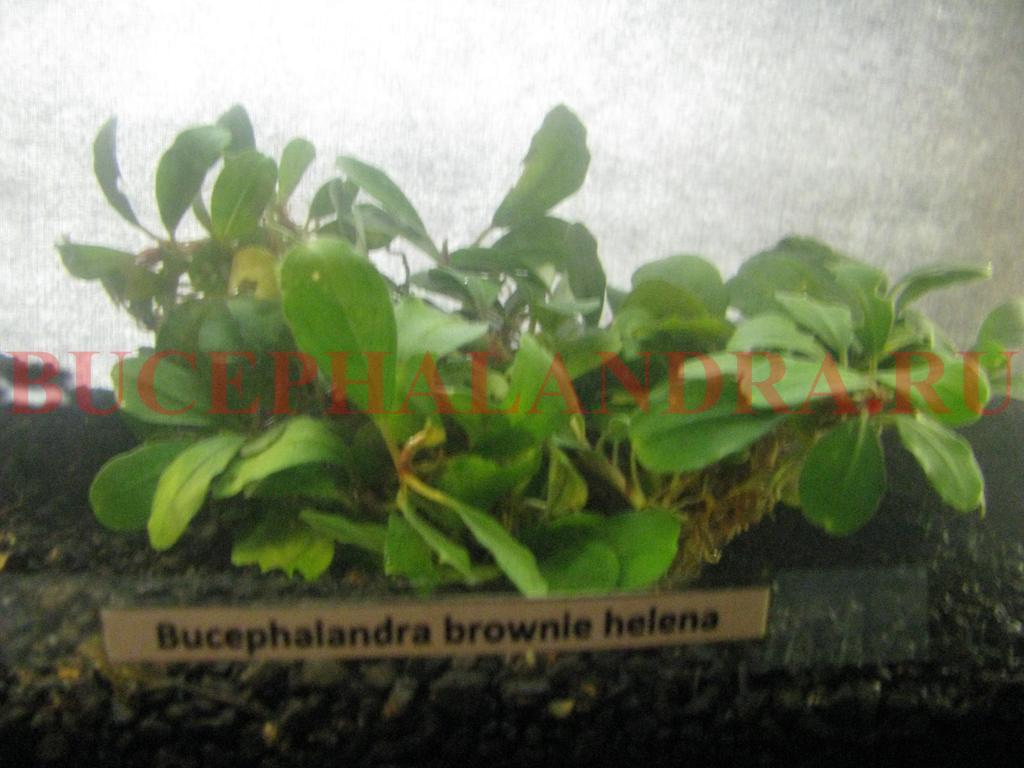 bucephalandra_sp._brownie_helena.jpg