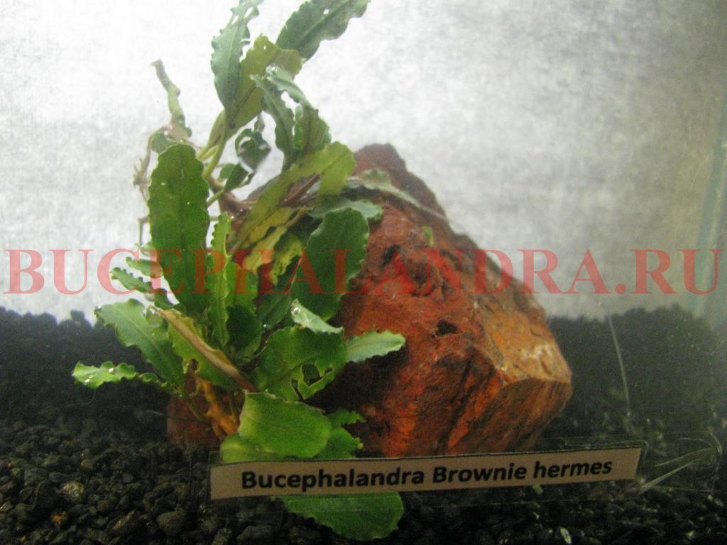 bucephalandra_sp._brownie_hermes.jpg
