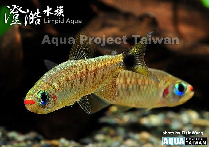 2hong_chun_ke_qia_deng_moenkhausia_cosmops_-_kogal_tetra_red_lipkao_bei_.jpg