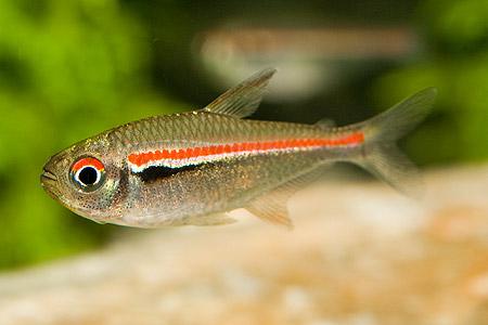 triivichest-neon-hyphessobrycon-heterorhabdus-1.jpg