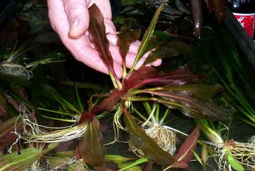 Это настоящий Echinodorus uruguayensis.